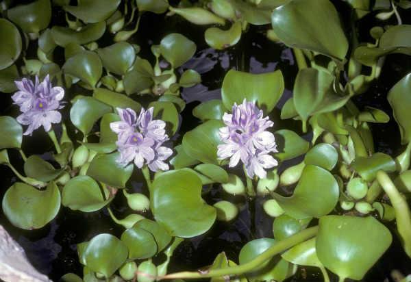 Эйхорния отличная или водяной гиацинт