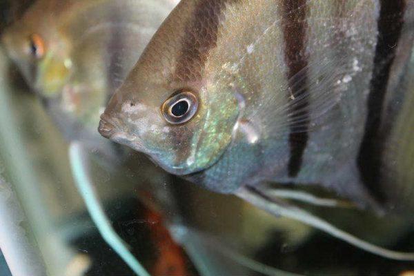 Гексамитоз рыб