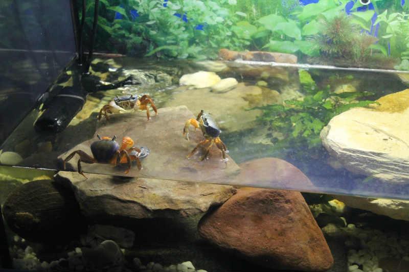 Крабы в аквариуме
