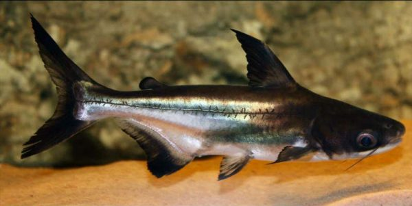 Сом пангасиус акулий