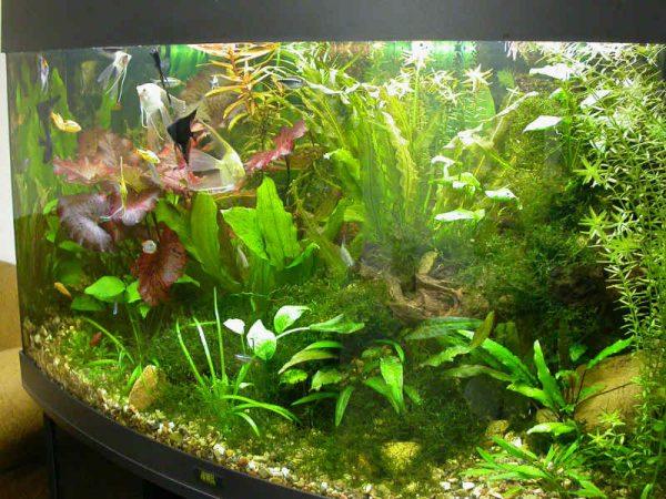 Зелень на стенках аквариума
