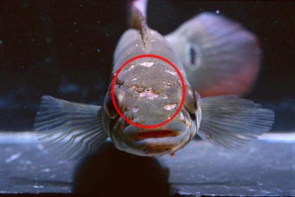ихтиоспоридиоз аквариумных рыб