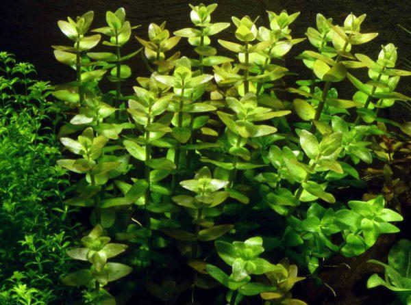 Бакопа аквариумное растение