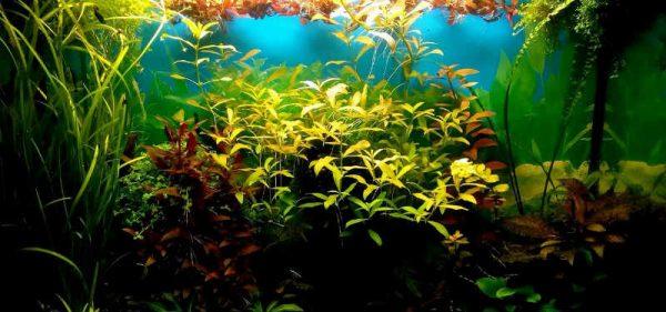 Ксенококус в аквариуме