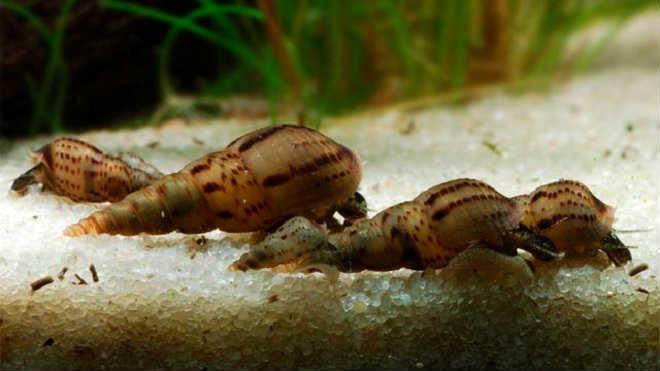 Мелания в аквариуме
