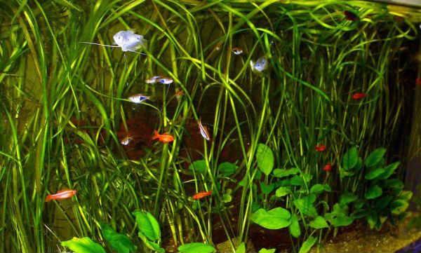 расбора рыбка аквариумная