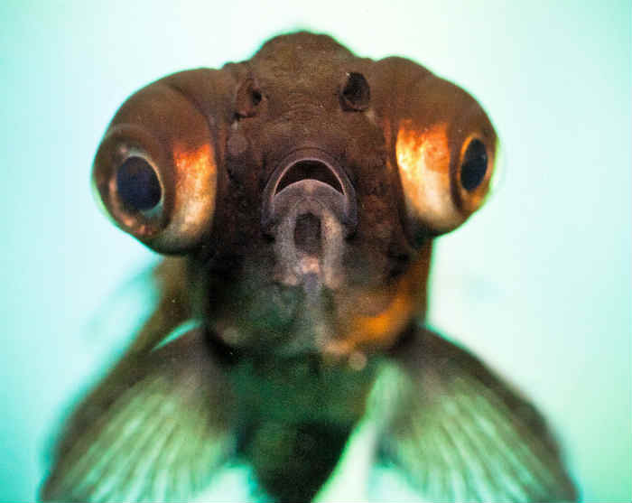 Болезнь рыбок колумнариоз