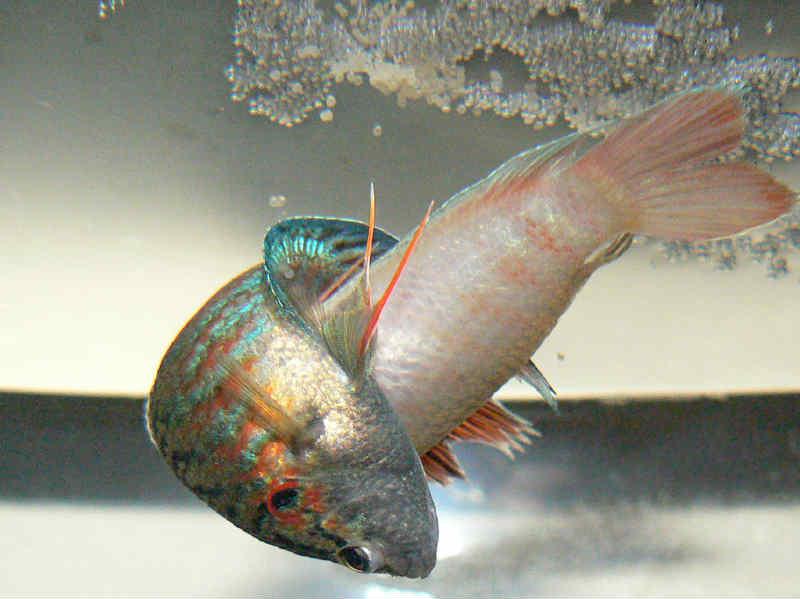 аквариумные рыбки макроподы