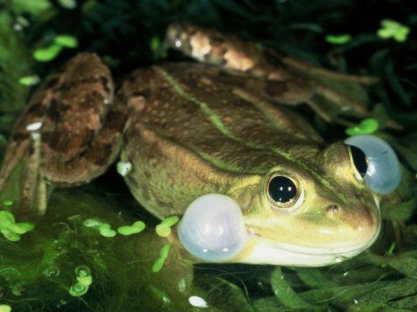 Аквариумные лягушки: уход, виды, содержание с рыбками, фото