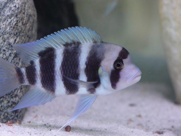 Фронтозы в аквариуме: опыт содержания и уход