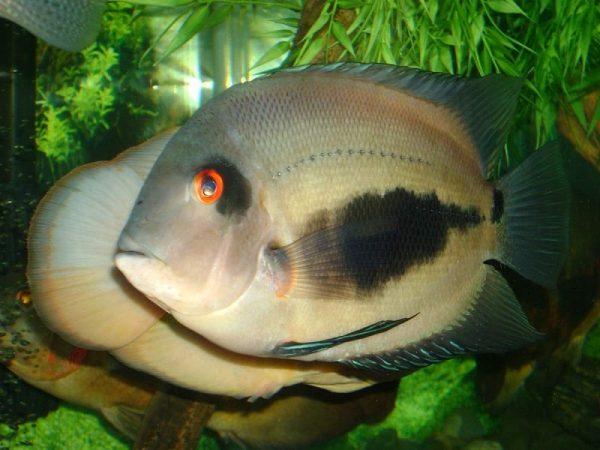 Уару аквариумная рыбка: клинопятнистая цихлида, содержание