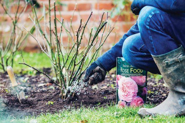 Весенняя подкормка розы для выращивания ярких и ароматных бутонов