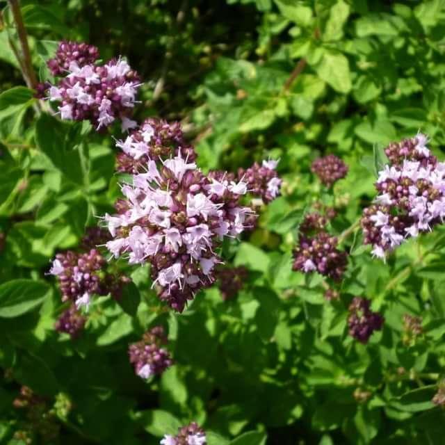 Самые полезные растения в борьбе с вирусами для заваривания в чай