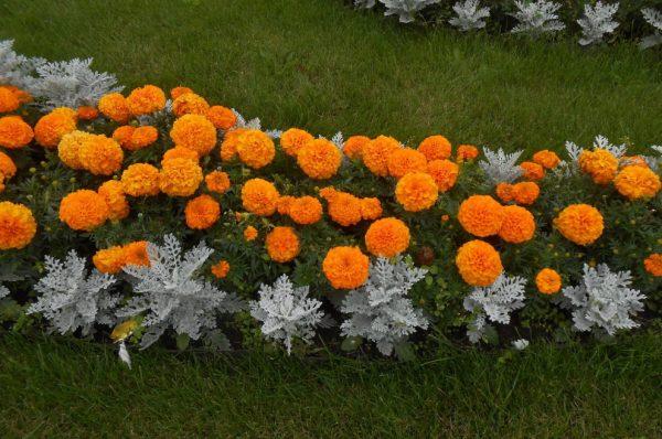 5 цветков, которые будут радовать красотой все лето и защитят участок от вредителей